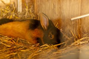 hasen tragezeit kaninchen